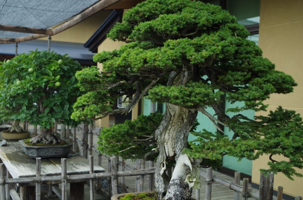 The 7 Oldest Bonsai Trees in the World! - Bonsai Sanctum