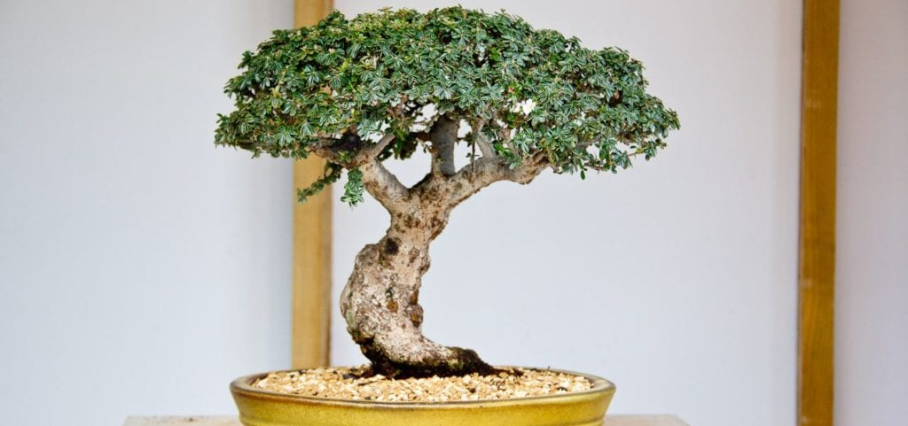 Can Any Type of Tree Be A Bonsai? - Bonsai Sanctum